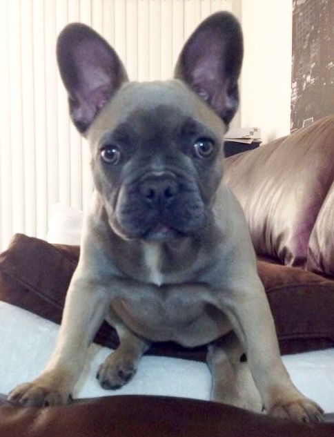 Blue Fawn French Bulldog Puppy Frenchie Bulldog Cute Animals Blue Fawn French Bulldog