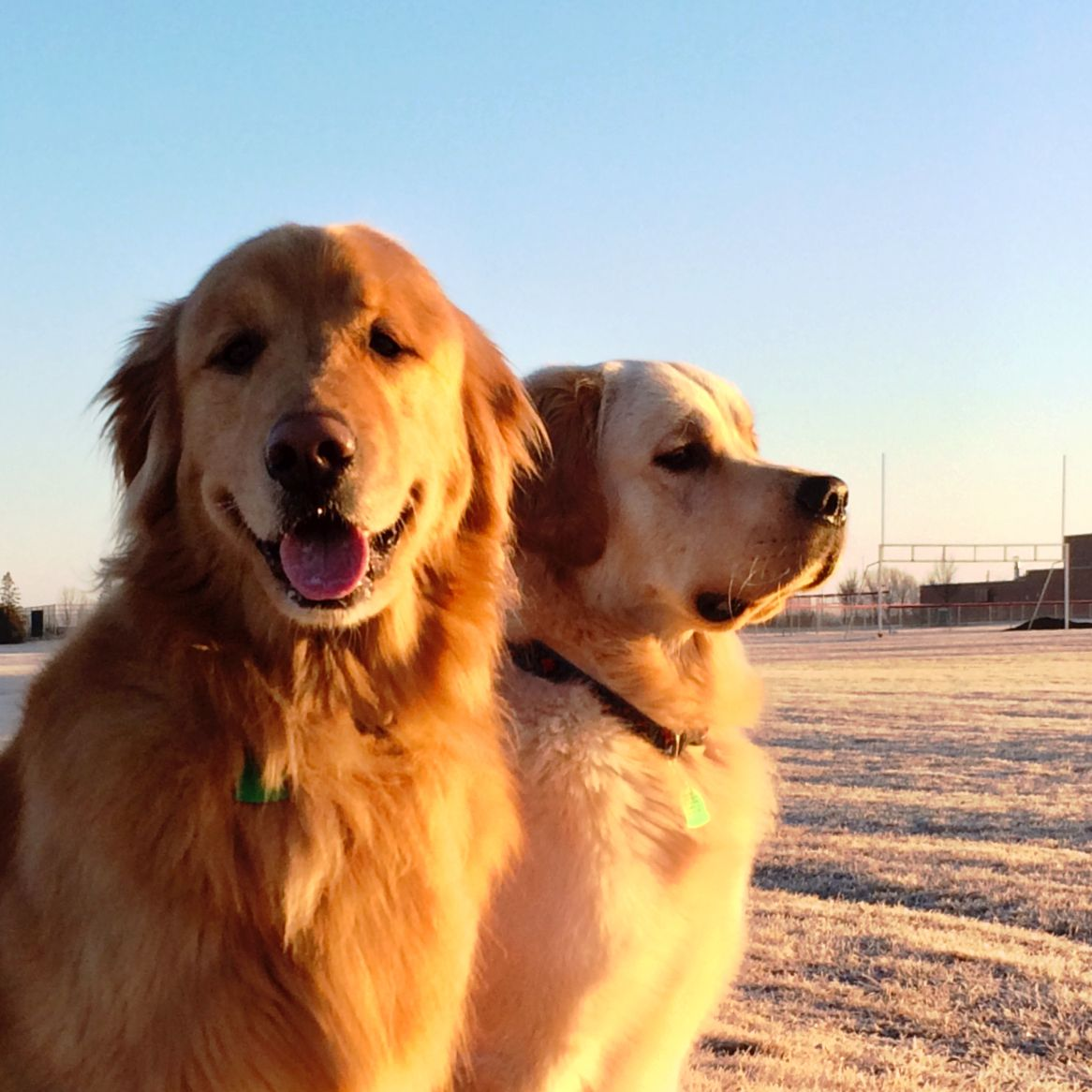 Golden Sunrise Dogs Golden Retriever Golden Retriever Dog Lovers
