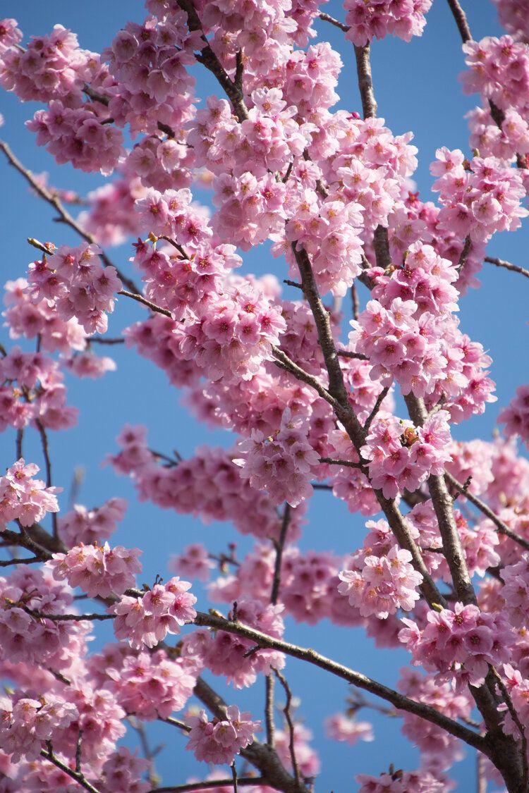 The 5 Must See Sakura Locations In Kyoto Japan A Happy Passport Japan Sakura Cherry Blossom Japan Sakura Tree