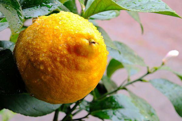 Dieta del limon 7 kilos 5 dias