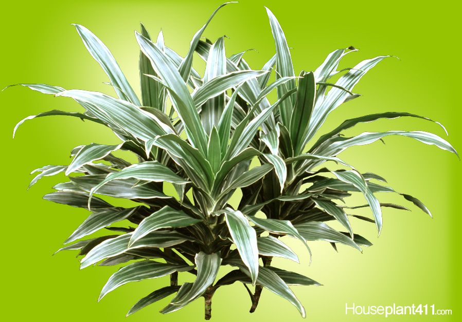 dracaena warnekii houseplants are poisonous to dogs and cats poisonous house plants. Black Bedroom Furniture Sets. Home Design Ideas