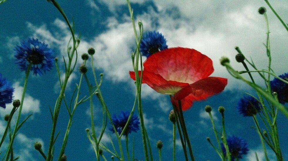 Lovely poppy in the sky