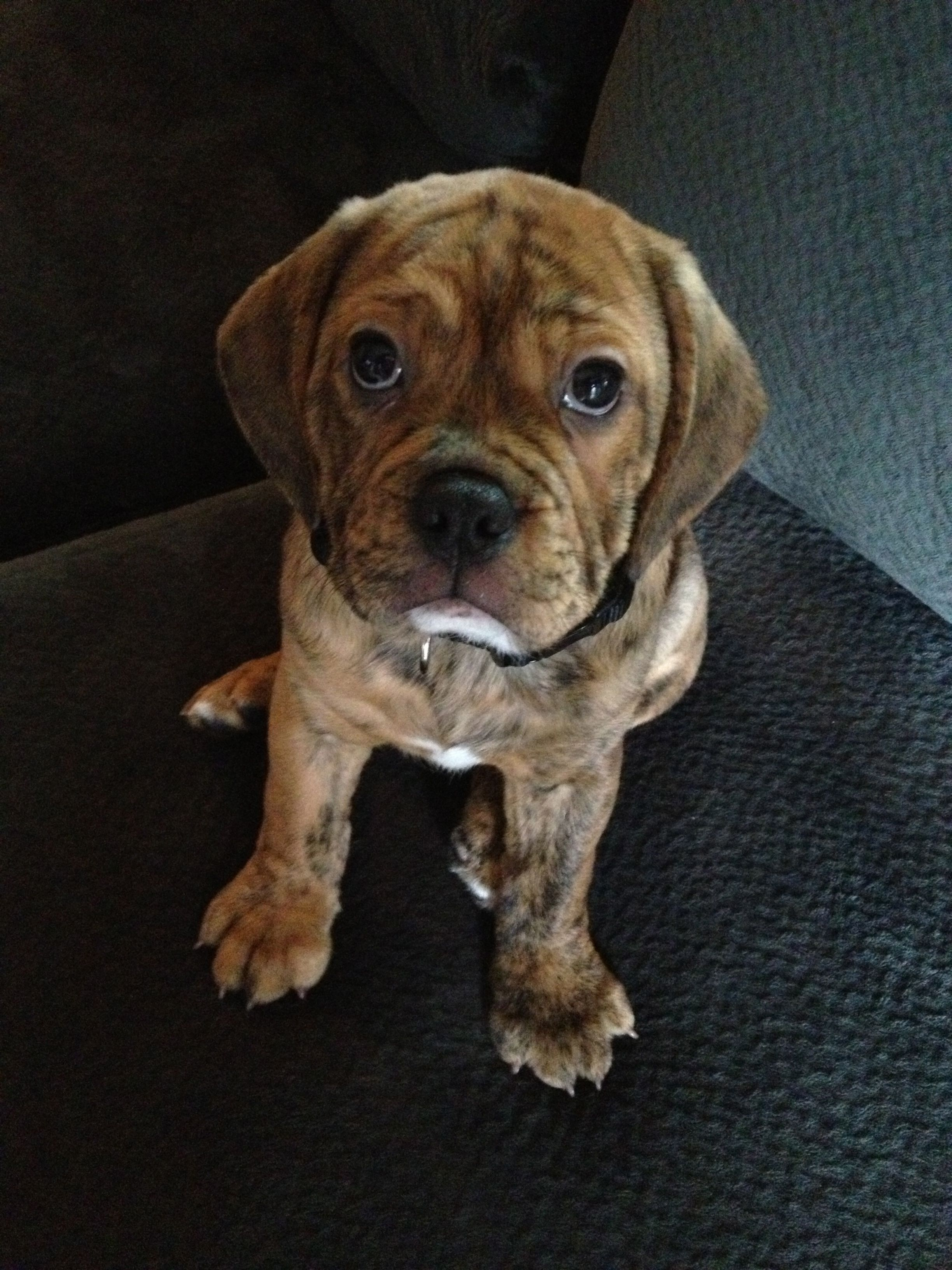 My Cousins New Dog So Jealous He Is So Cute Bulldog And Puggle