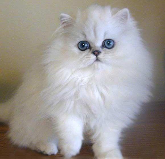 Blue eyed chinchilla persian cat
