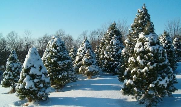 Christmas Trees Are A Big Small Business Christmas Tree Farm Tree Farms Fresh Christmas Trees