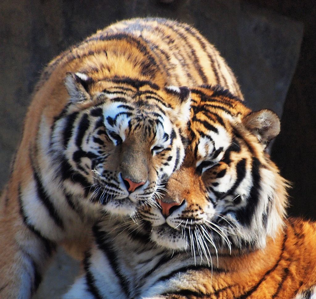 Картинка любовь тигрица