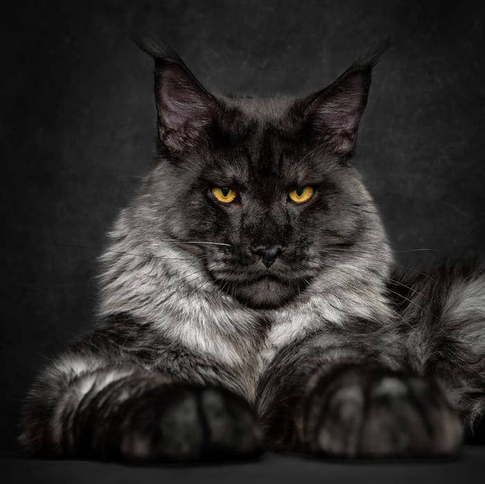 Psst... This precious floof is a Maine coon cat named Badass. This Guy Takes The Most Epic Photos Of Maine Coon Cats You've Ever Seen