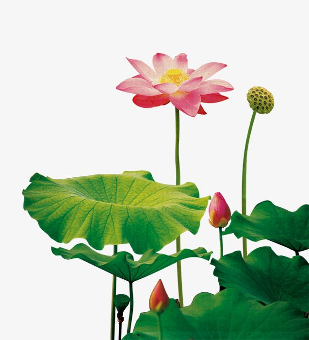 Lotus Flower Flower Clipart Lotus Clipart Lotus Png Transparent