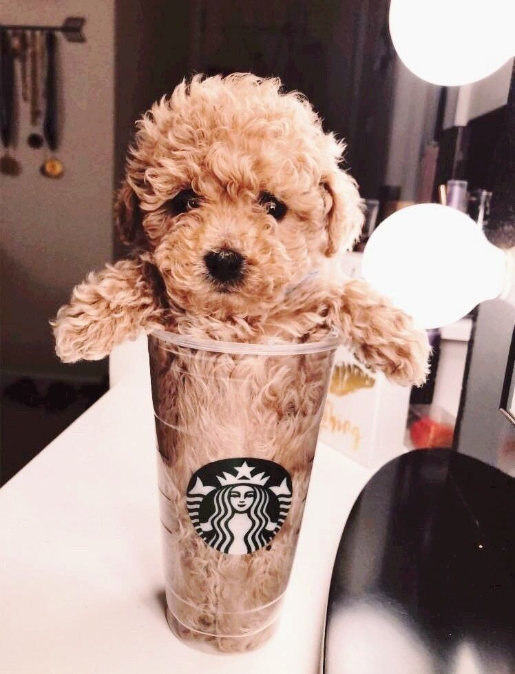 puppy cup at starbucks
