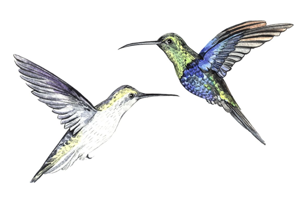 Watercolor Hummingbirds by Little graphic shop on @creativemarket