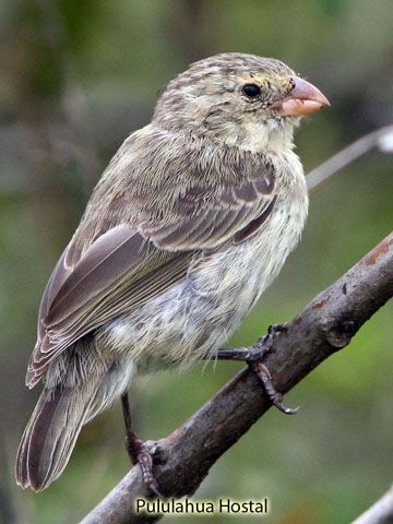 Small Tree Finch Camarhynchus Parvulus Is The Smallest 11 Cm Tree Finch With A Short Curved Beak The Underparts Are Gray And Yell Finch Small Trees Darwin