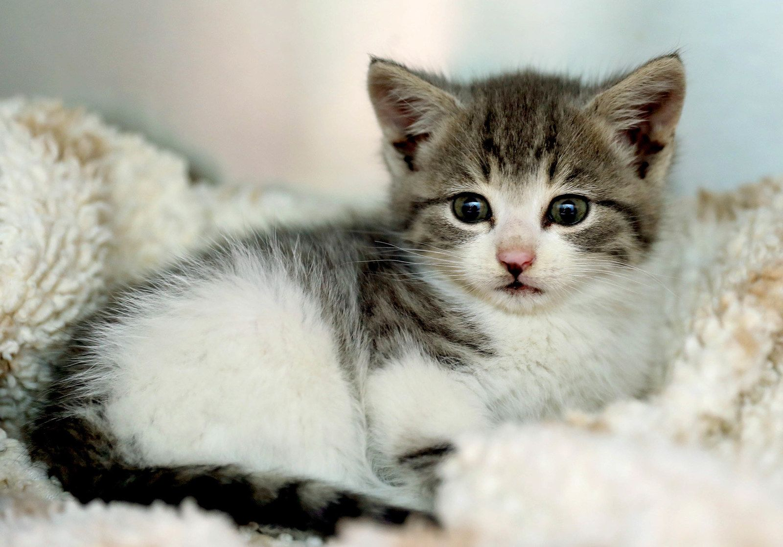 A Renegade Kitten Survived A Cross Country Road Trip By Clinging To A Car Cats Kittens Kitten