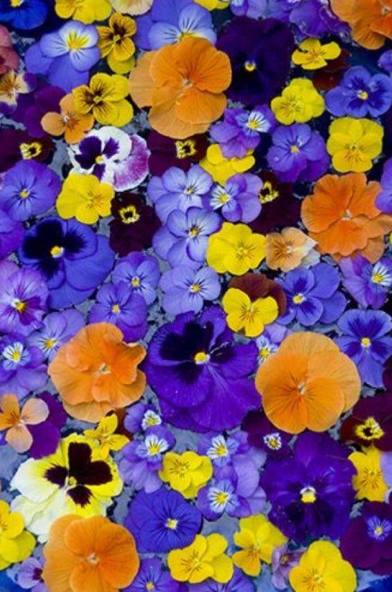 Pin By S M S On F L O R A Pansies Flowers Beautiful Flowers Pretty Flowers
