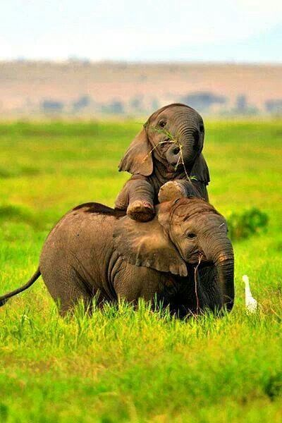 Hehe... baby elephant having a ride on big brother's back, after that hard day at school... Nothing like fooling around ... <3