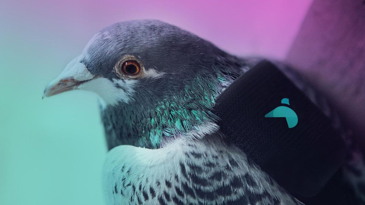 Pigeon pollution patrol is flying around london wearing tiny backpacks a pigeon pollution patrol is flying around london wearing tiny backpacks biocorpaavc