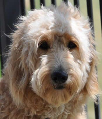 Goldendoodle Web Site, F1 goldendoodles, Texas, Puppies