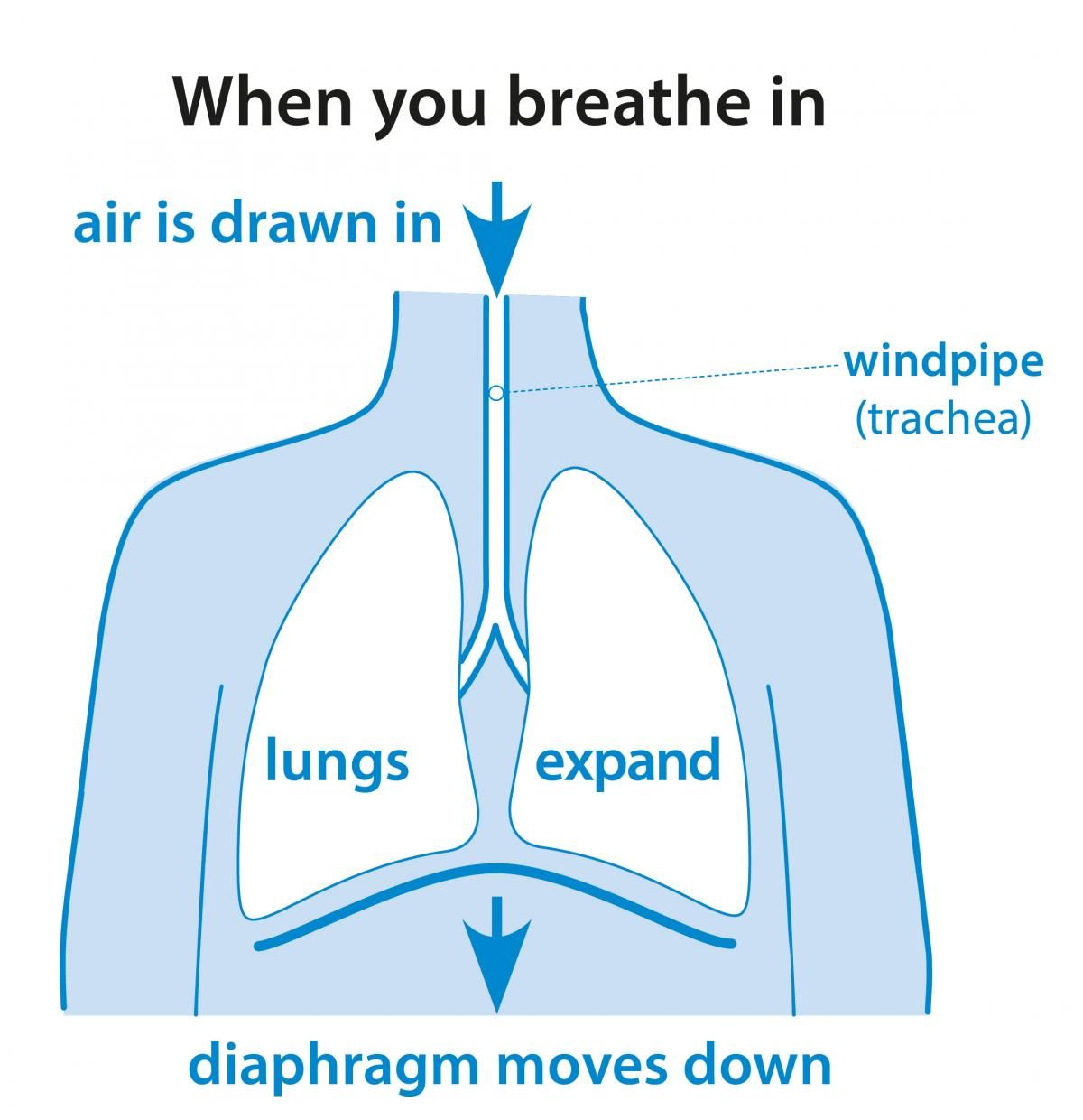Why do you breathe | Lunges Breathe Abdominal muscles