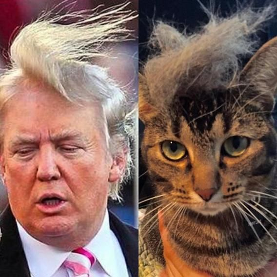 93ac6c9a0f9eedfe9e93957d181a5ebd cats with donald trump hair is a thing here are the best ones