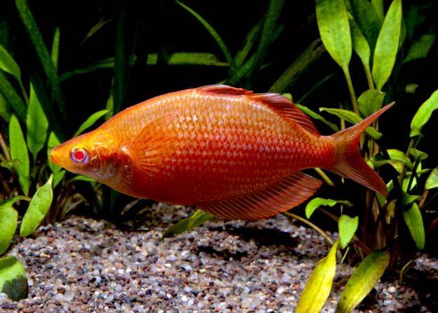Rainbowfish Freshwater Fish Tropical Freshwater Fish Freshwater Fish For Sale