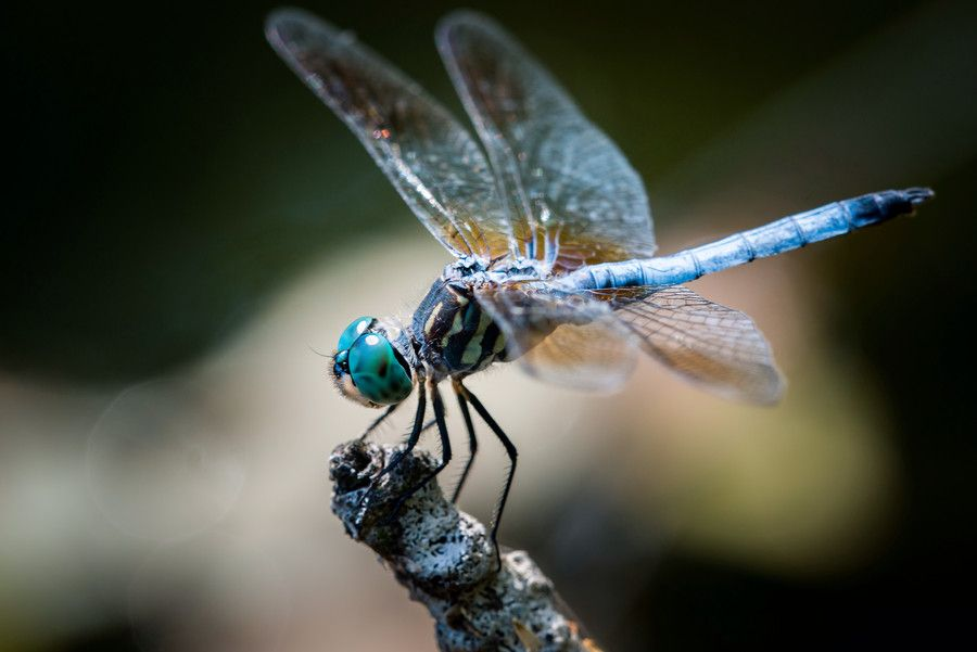 Blue Dasher Over Autumn Leaves II by Abeselom Zerit on 500px