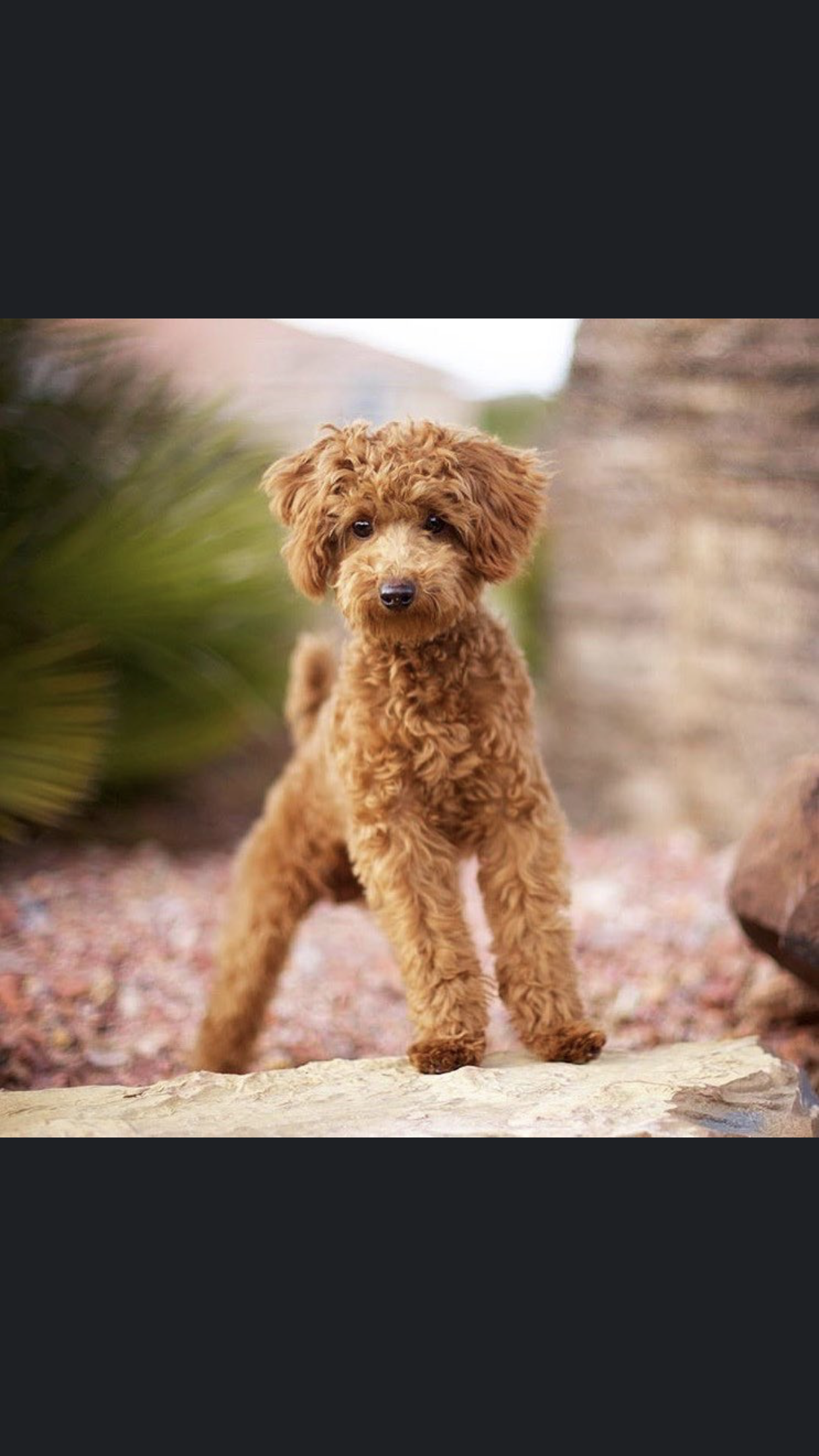 Pin By Tonya Terry On Animals Mini Poodles Poodle Animals