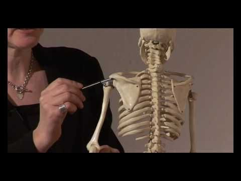 Muscle Actions, Origins and Insertions - Online Anatomy and ...