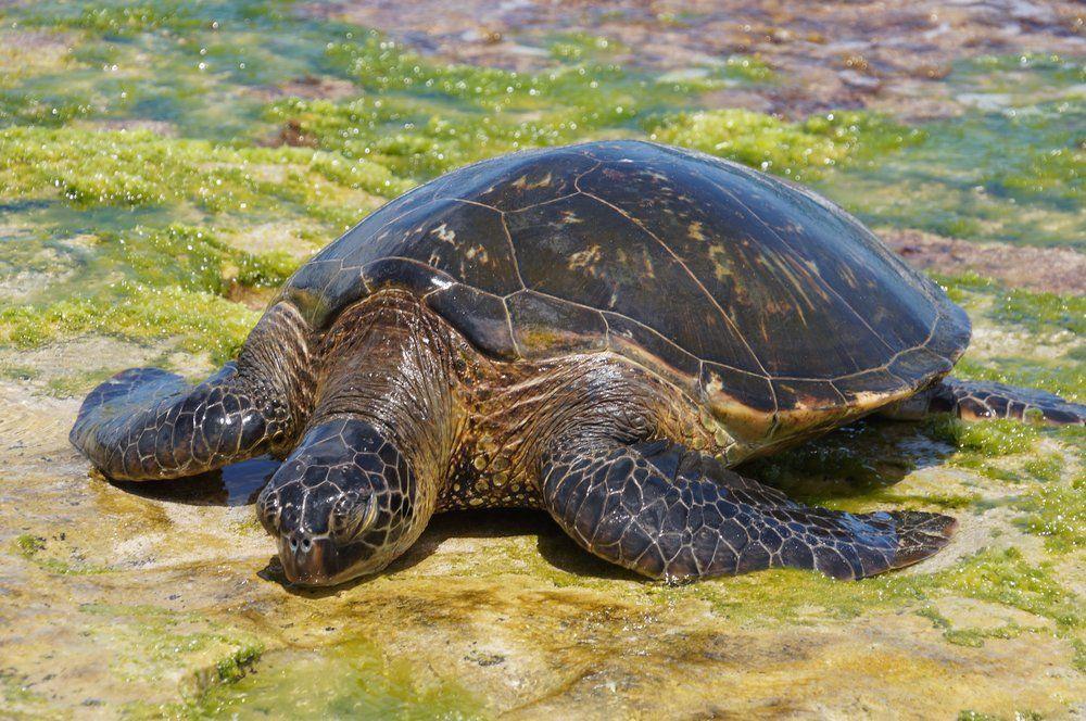 turtle beach Turtle beach, Beach, Haleiwa