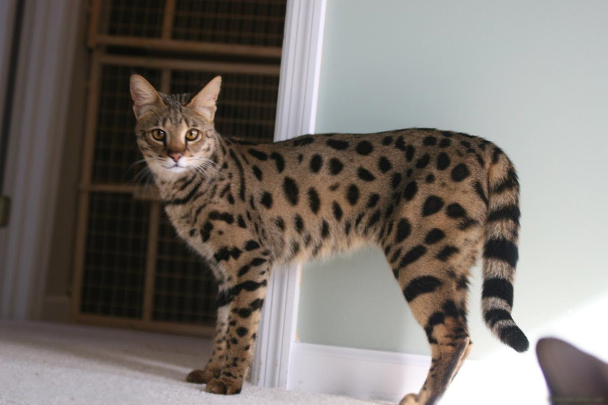 Ashera Foto Samaya Bolshaya I Dikaya Domashnyaya Koshka Smotri Bolshe Http Kot Pes Com Ashera Foto Kucing Bengal Kucing Kucing Betina