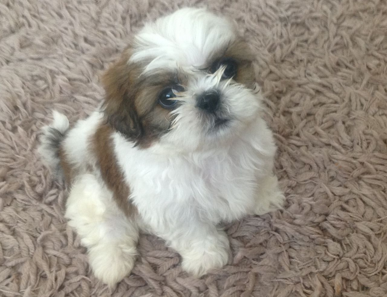 SHIH TZU PUPPIES (8 WEEKS OLD READY NOW) Shih tzu puppy