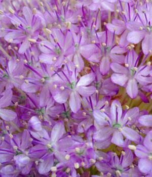 Purple Sensation  Flowering Onion  Scientific Name Allium aflatunense  Plant Type Perennial  Blooming Mid Spring to Early Summer