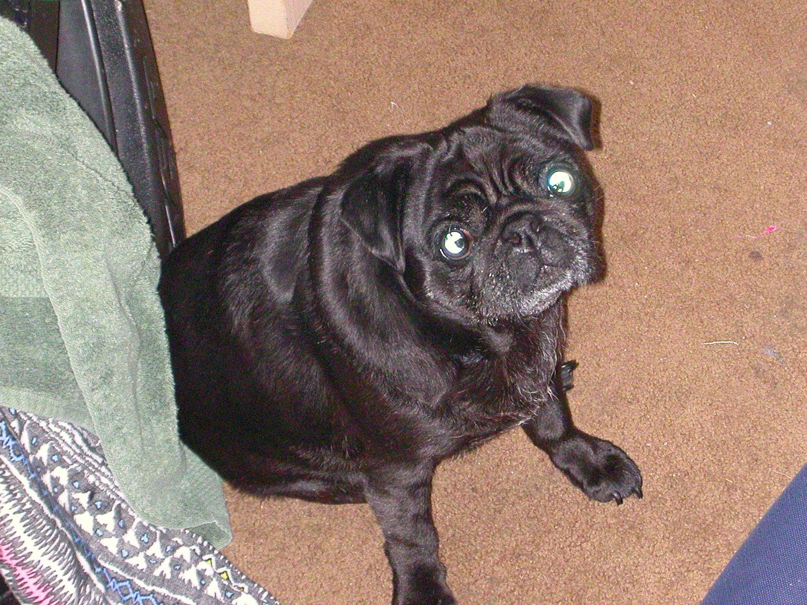 Pin about Pug names on Seattle Area Missing Pets