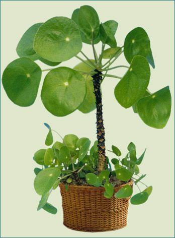 plante verte a feuilles rondes