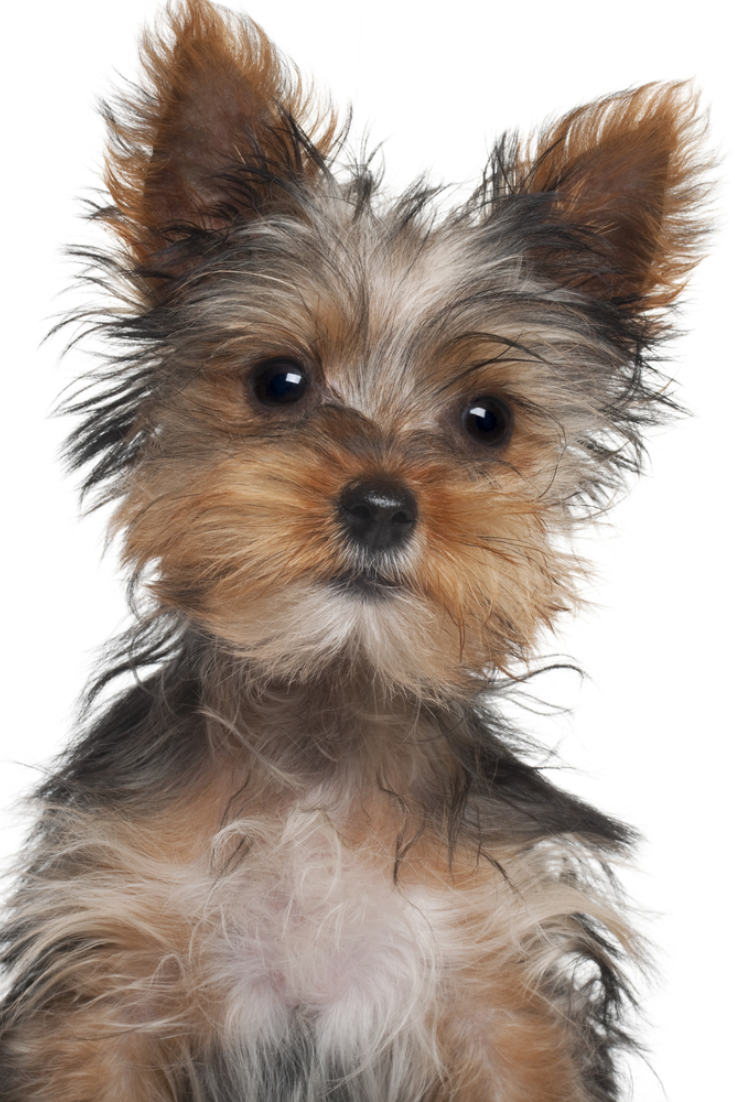 Yorkshire Terrier Puppy 8 Weeks Old In Front Of White Background