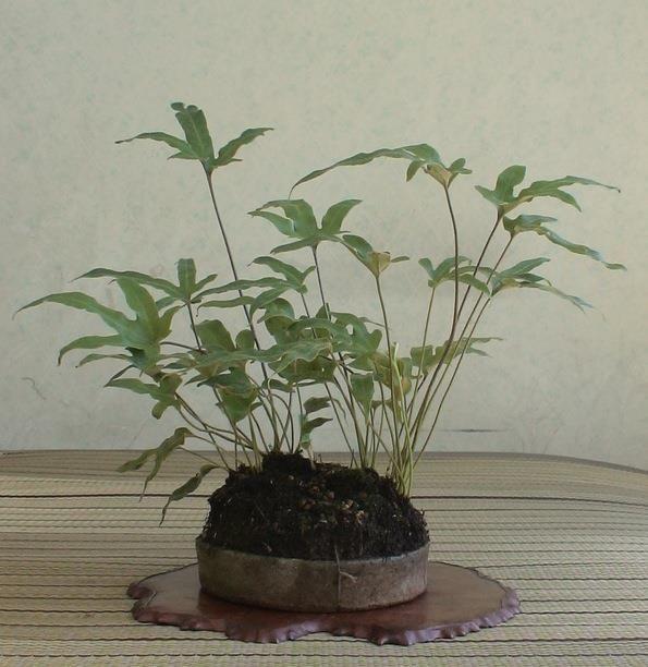 Shitakusa-fougere-phlebodium-aureum