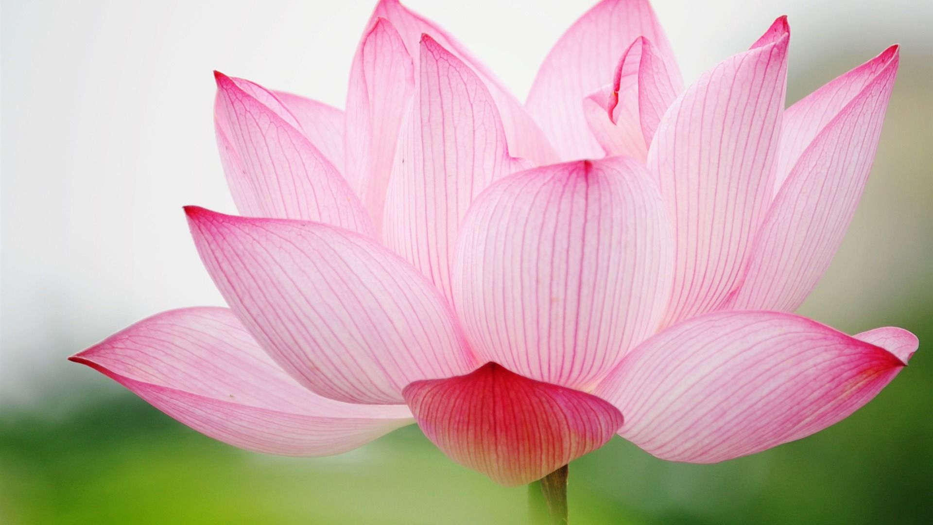 Wallpaper Summer Photography Lotus Pretty Things Pinterest
