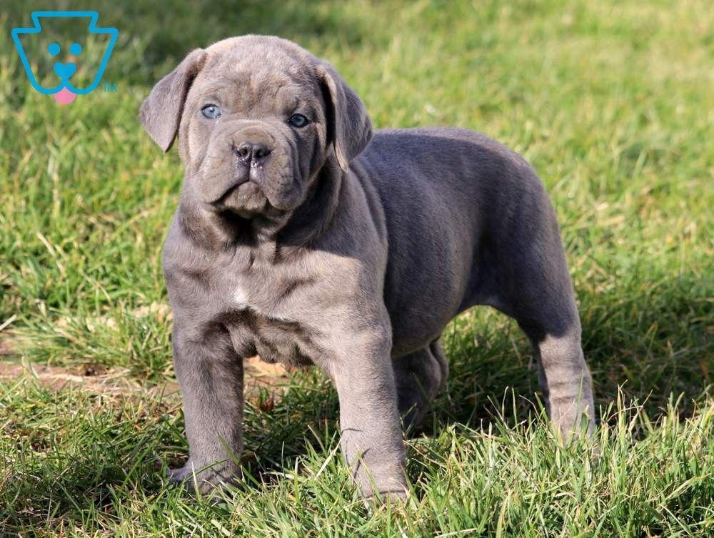 Bruno Cane corso puppies, Puppies, Cane corso