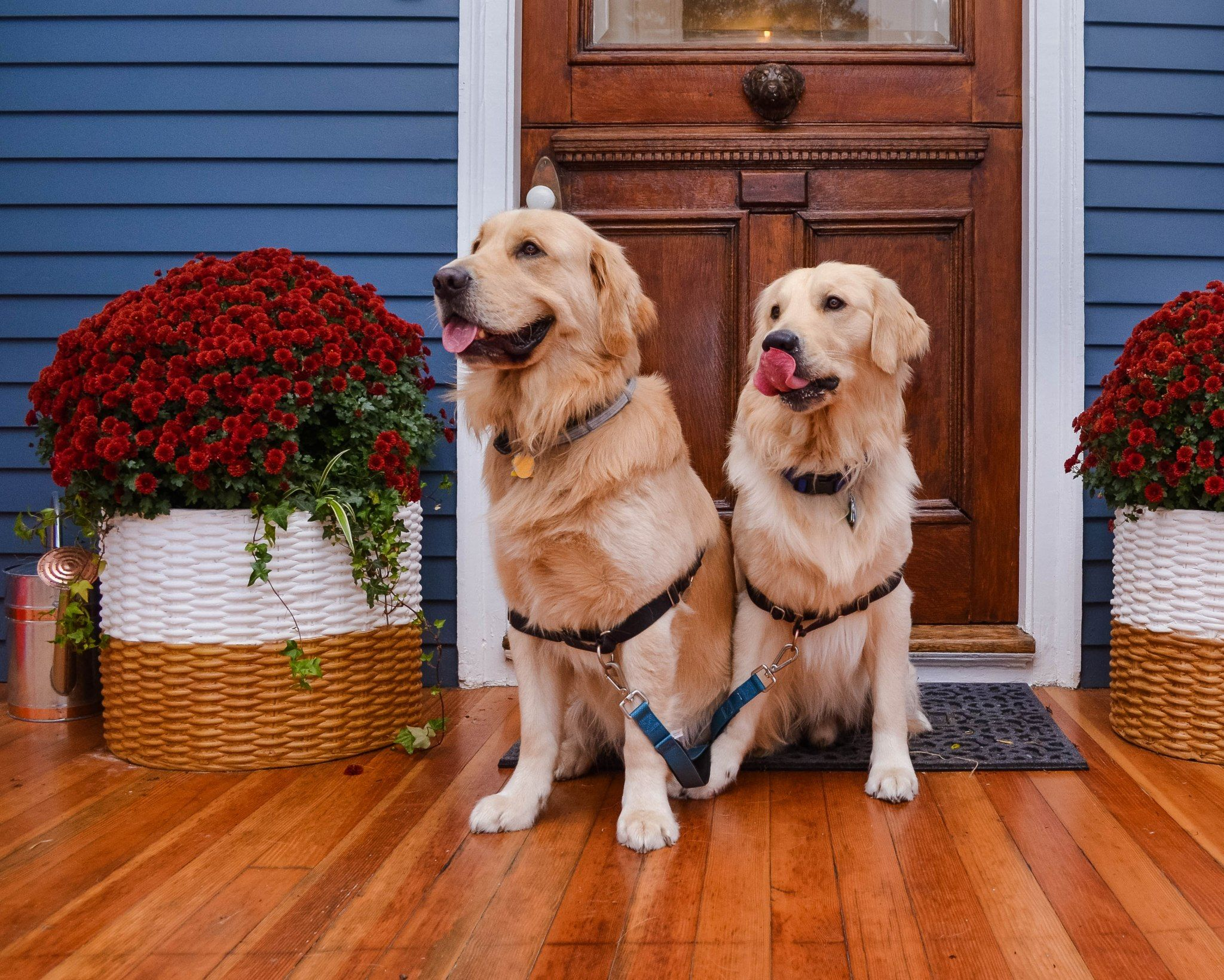Paws On Pelham – Joyful Goldens New England Dog Friendly Inn Paws on Pelham  in Newport, Rhode Island. These tw… in 2020 | Dog friends, Dog friendly  hotels, Golden retriever