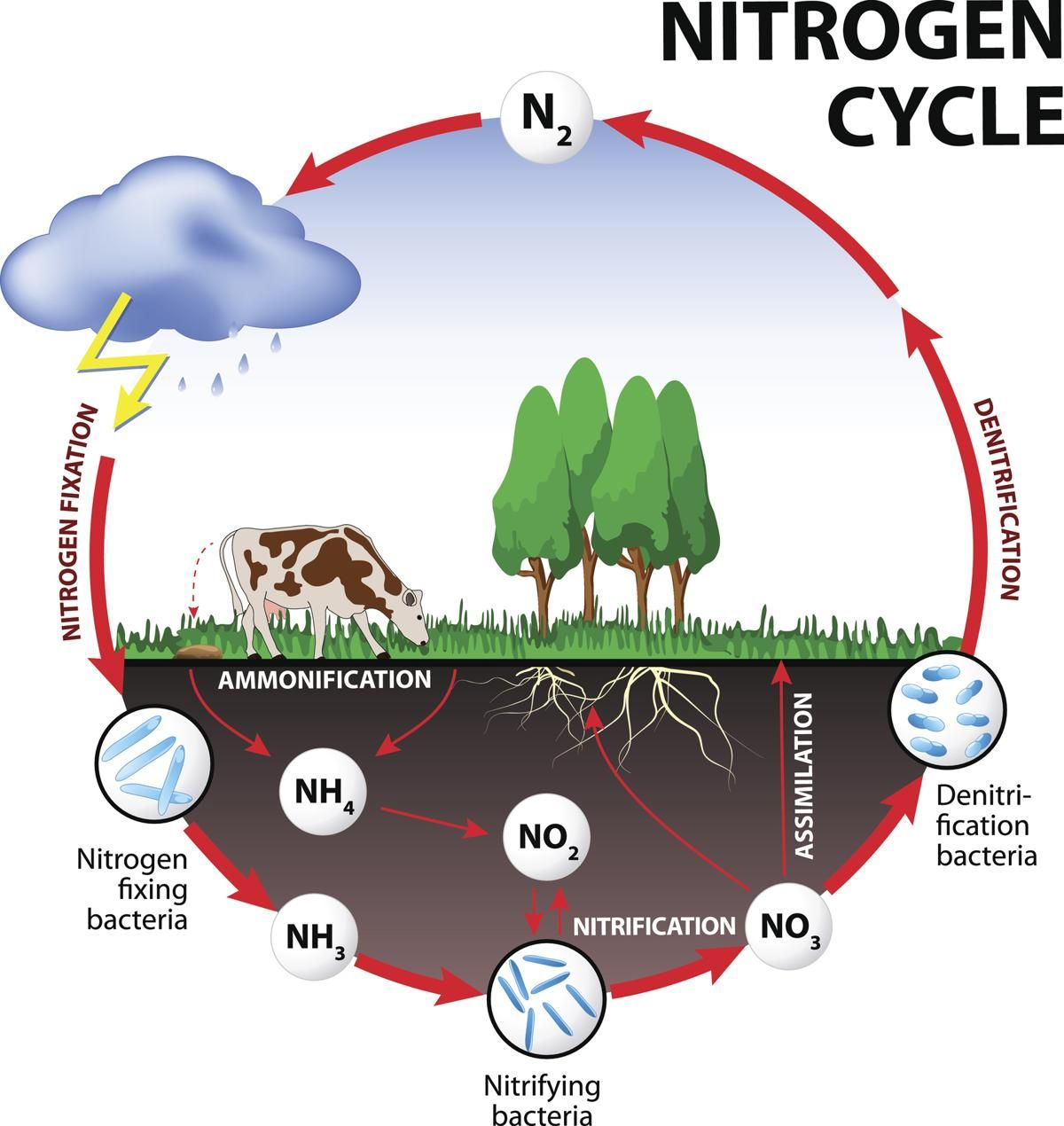 Steps Of Nitrogen Cycle There Are 5 Steps Of Nitrogen Cycle That Help In Fixing Atmospheric Nitrogen Nitrogen Fixati Nitrogen Cycle Cycle Drawing Carbon Cycle