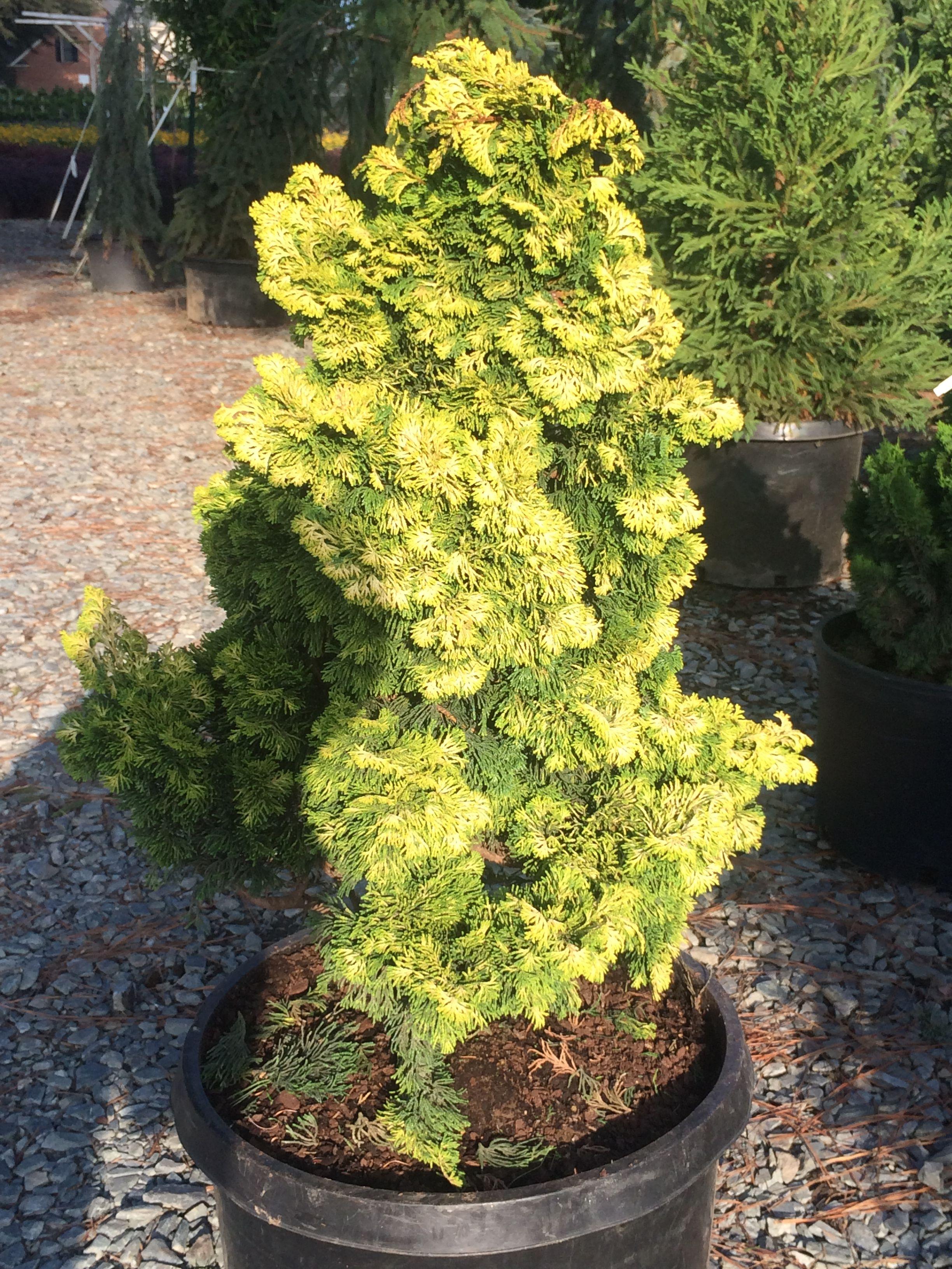Chamaecyparis Obtusa Verdoni Quot Golden Hinoki Cypress