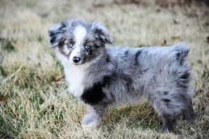 Mini X2f Toy Aussie Puppies For Sale Now West Texas Mini Aussies Miniature Australian Shepherds Australian Puppies Aussie Puppies For Sale Aussie Puppies