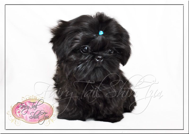 Fairy Tail Shih Tzu Teacup Shihtzu Puppies For Sale Puppy
