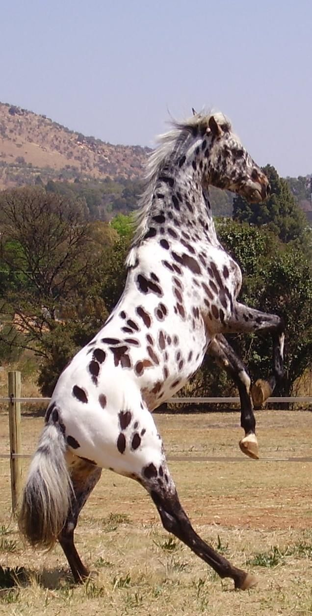 She Does This Thing She Calls The Jump Back Jack Sami Horses Appaloosa Horses Cute Horses [ 1255 x 636 Pixel ]