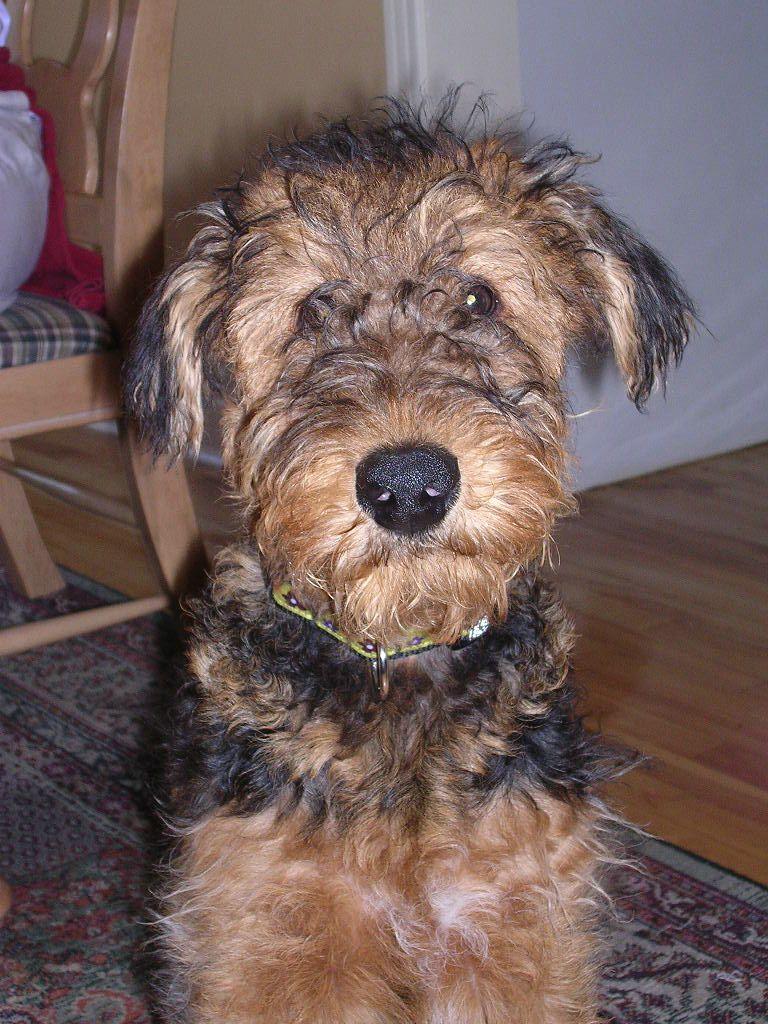 Airedale Puppy Fuzz Airedale Puppy Wire Fox Terrier Fox Terrier