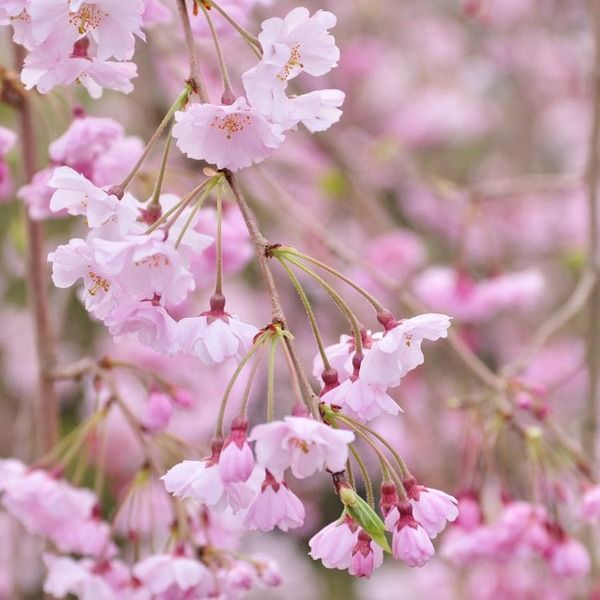 With Some Of The Deepest Pink Flowers Of The Weeping Cherries Prunus Pendula 39 Pendula Plena Rosea 39 Is A Ve Tree Buds Cherry Blossom Tree Spring Blooms