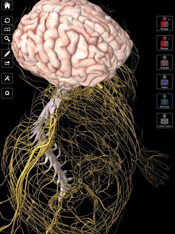 Brain and Nervous System - Taken from the Essential Anatomy app for ...