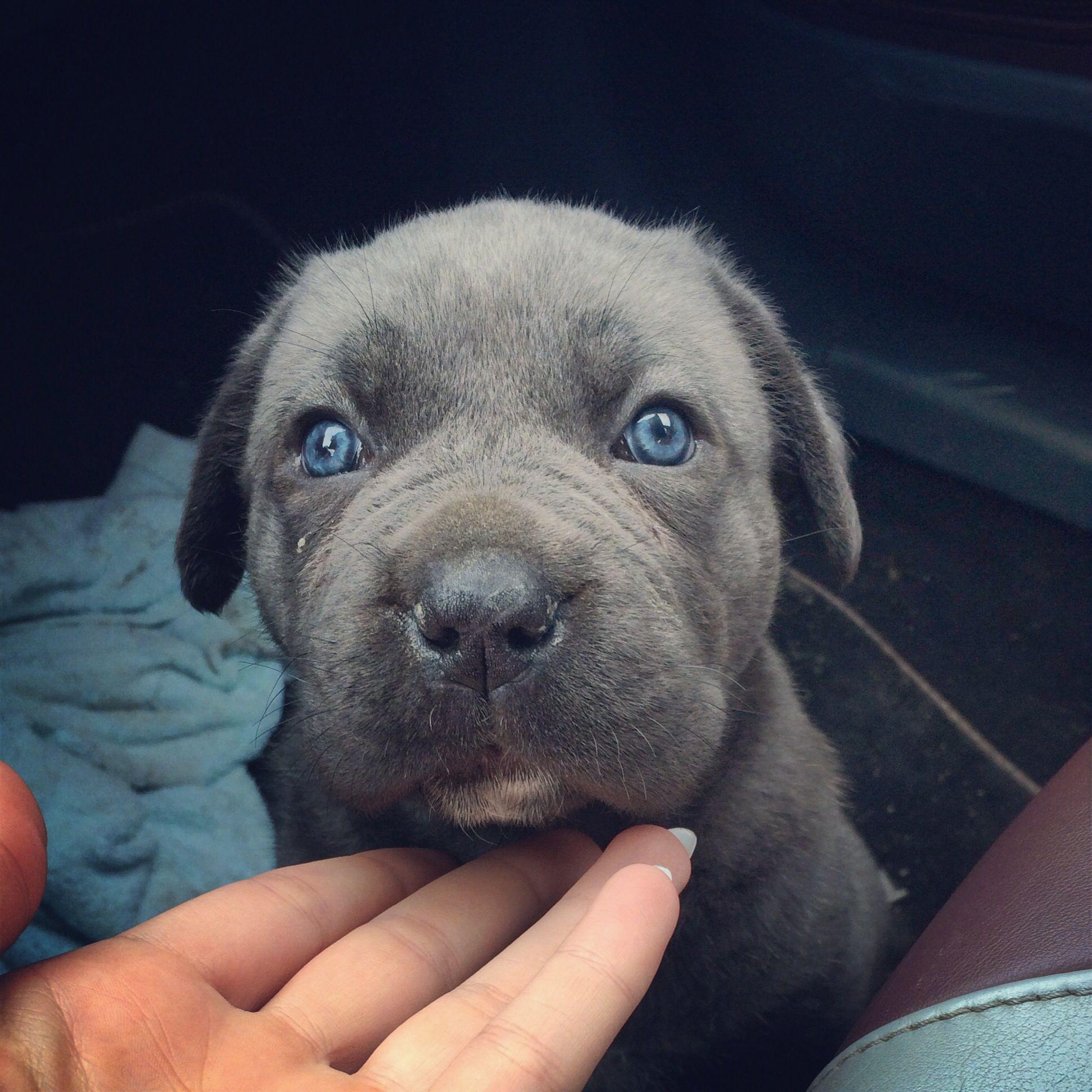 Blue Eyes Presa Canario Hunde Vision Board