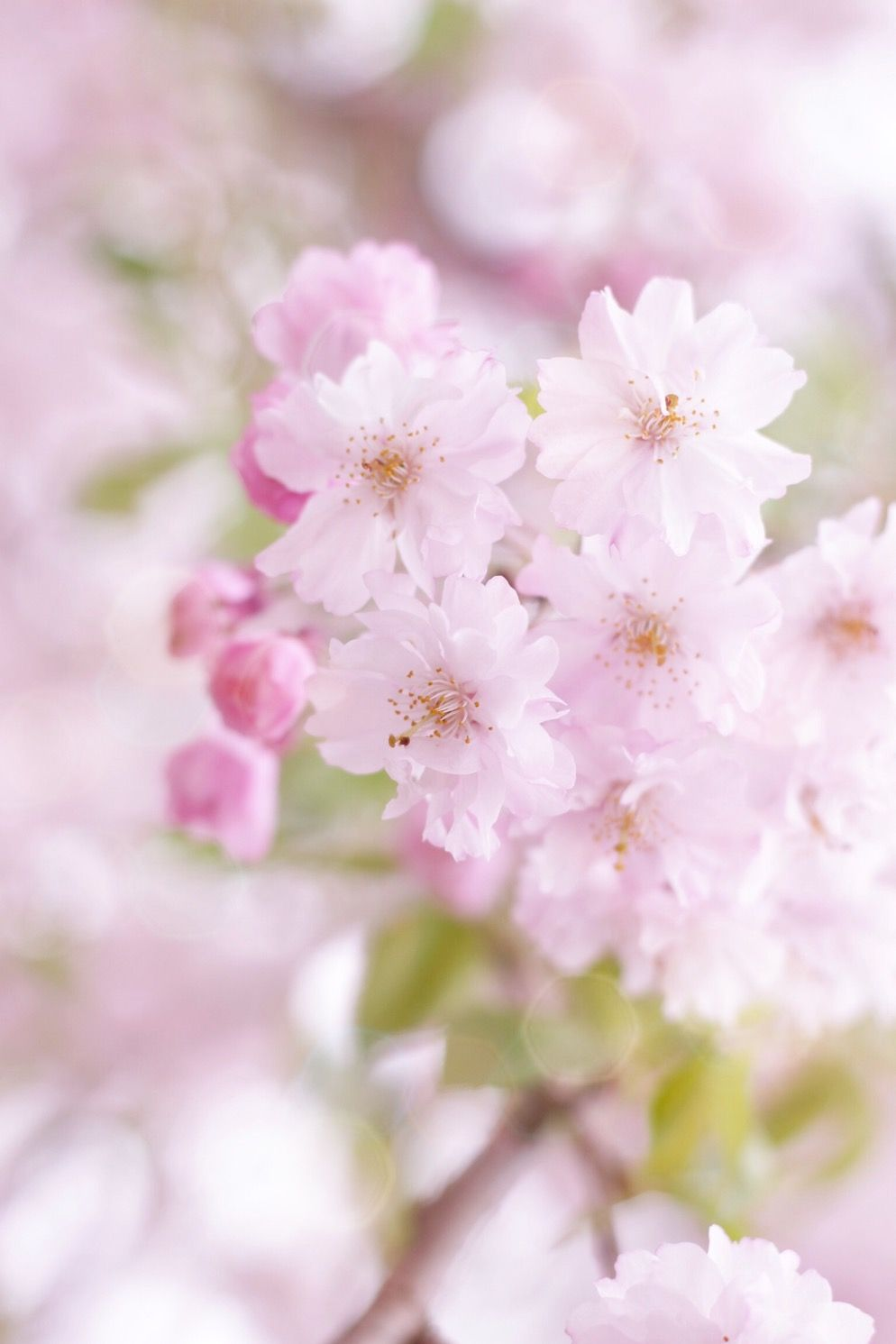 Sakuraudb photo by anotherbluesky dreaming flower