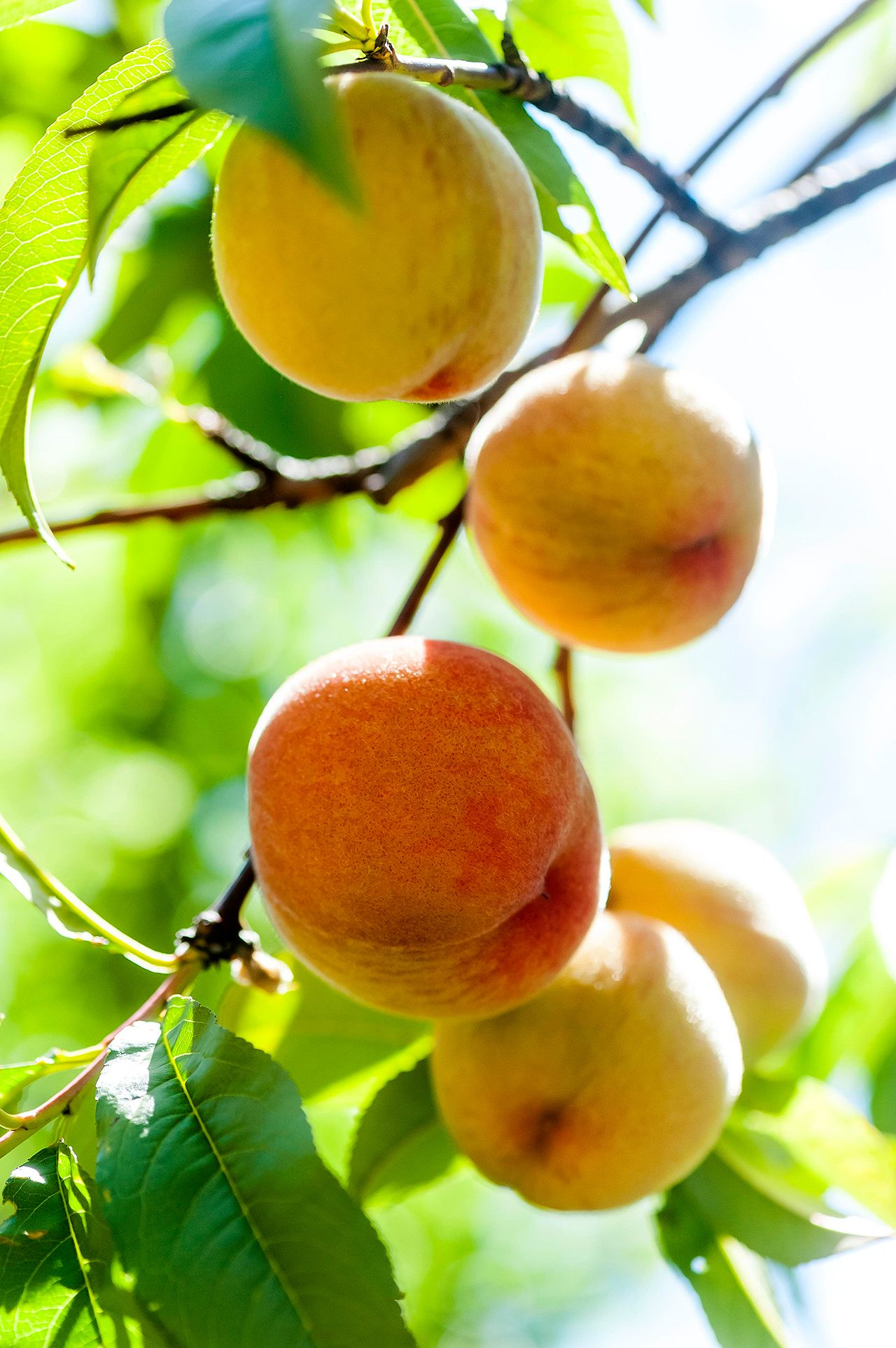 10 Fast Growing Fruits For A Speedy Harvest Dwarf Fruit Trees Growing Fruit Trees Fruit Trees