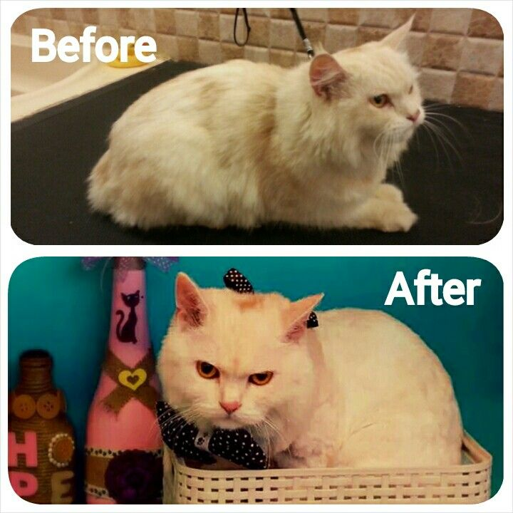 Before And After Grooming Of Persian Cat