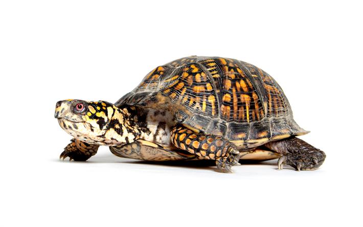 Rettili tartarughe e animali for Animali da laghetto